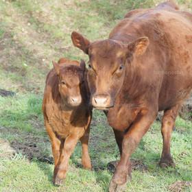 Mama und Kind Kuh