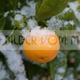 News Foto: Zitronen im Schneegestöber | erster Schnee seit hundert Jahren in Orihuela Costa