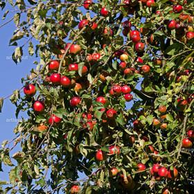 Apfelbaum mit roten reifen Äpfeln