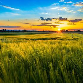 Sommer im Ried | Sommerliches Getreidefeld in der Oberrheinebene