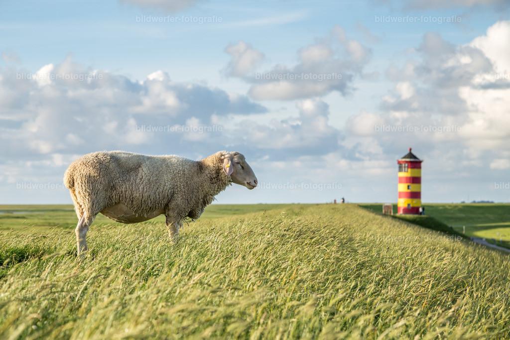 Pilsumer Leuchtturm | Schaf vor dem Pilsumer Leuchtturm in Ostfriesland