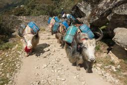 Yaks Nepal | Yaks, Himalaya, Nepal