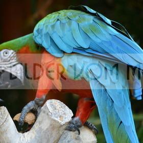 Papagei Bilder | Bilder von Papageien, Ara Papagei