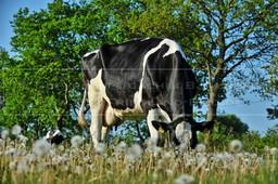 1_JAL_4564 | Kühe im Löwenzahn