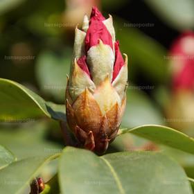Eine Rote Rhododendron Knospe