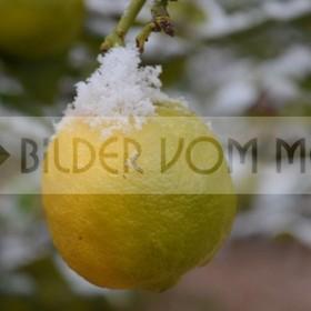 News Fotos: Zitrone mit Schneehäuptchen | Erster Schnee nach hundert Jahren in Orihuela Costa, Spanien