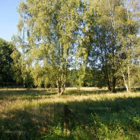 Birken in der Landschaft