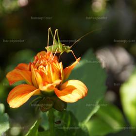 Heuschrecke auf Blume