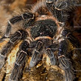 Lasiodora Parahybana | Lasiodora Parahybana - mit bis zu 30 cm Beinspannweite eine der größten Vogelspinnen weltweit