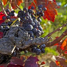Weinernte - reife blaue Trauben