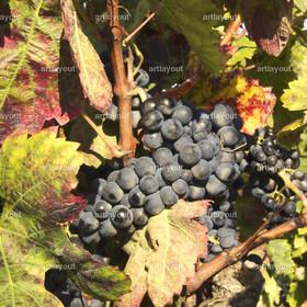Weinlese - reife blaue Trauben