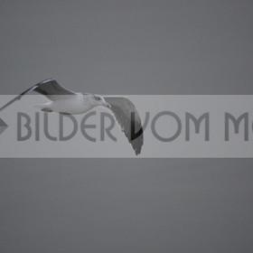 Möwen Bilder | Möwe im Gleitflug