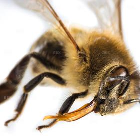 IMG_35_580_E5-4587 | Honigbiene mit Rüssel