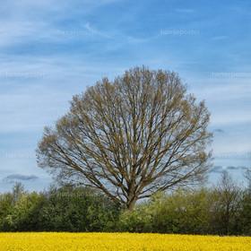 der Rapsbaum