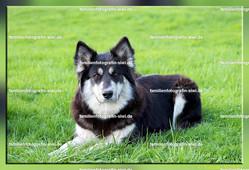 2013 04 28 Husky Labrador Mischling