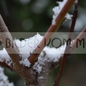 Birnbaum am Meer im Schneegestöber | erstmals seit hundert Jahren