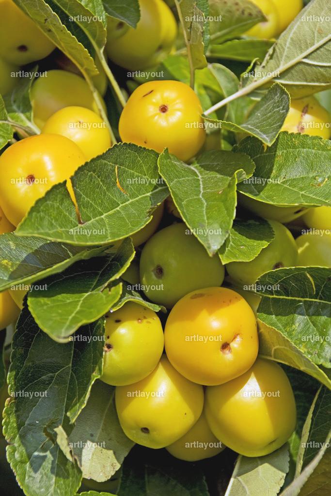 Reife Äpfel | Sorte Golden Hornet