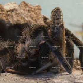 Brachypelma Albopisolum | Brachypelma Albopisolum, Vogelspinne mit Habitat in Costa Rica, Venezuela, Guatemala, Nicaragua und Honduras, mit erbeuteter Heuschrecke