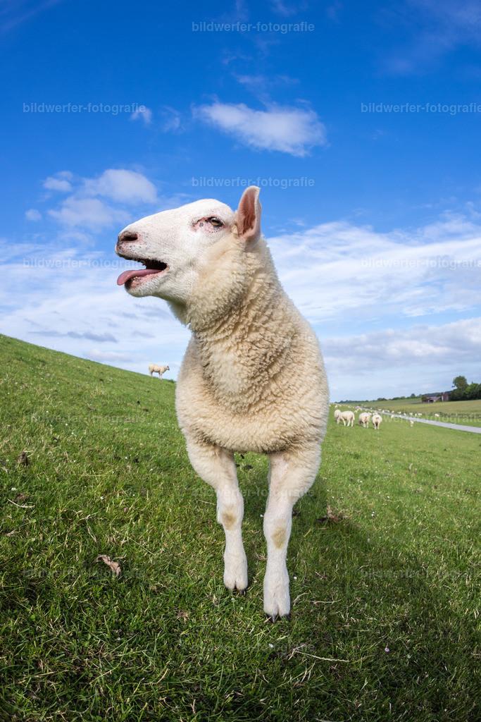 Lustiges Schaf  | Schaf Hochformat
