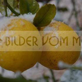 Zitronen im Schnee | Erster Schneefall seit 100 Jahren in Orihuela Costa und Torrevieja
