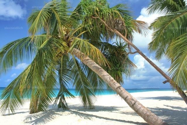Malediven Traumpalme tags