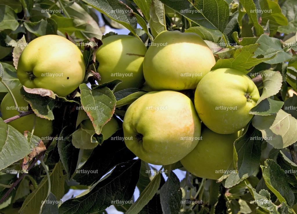 Reife Äpfel