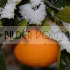 News Fotos: Orangen im Schnee | Erster Schnee seit 100 Jahren in Orihuela Costa Spanien