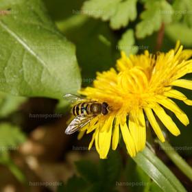 Schwebfliege auf Butterblume