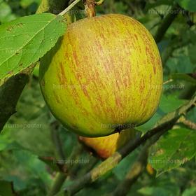 der Grüne Apfel