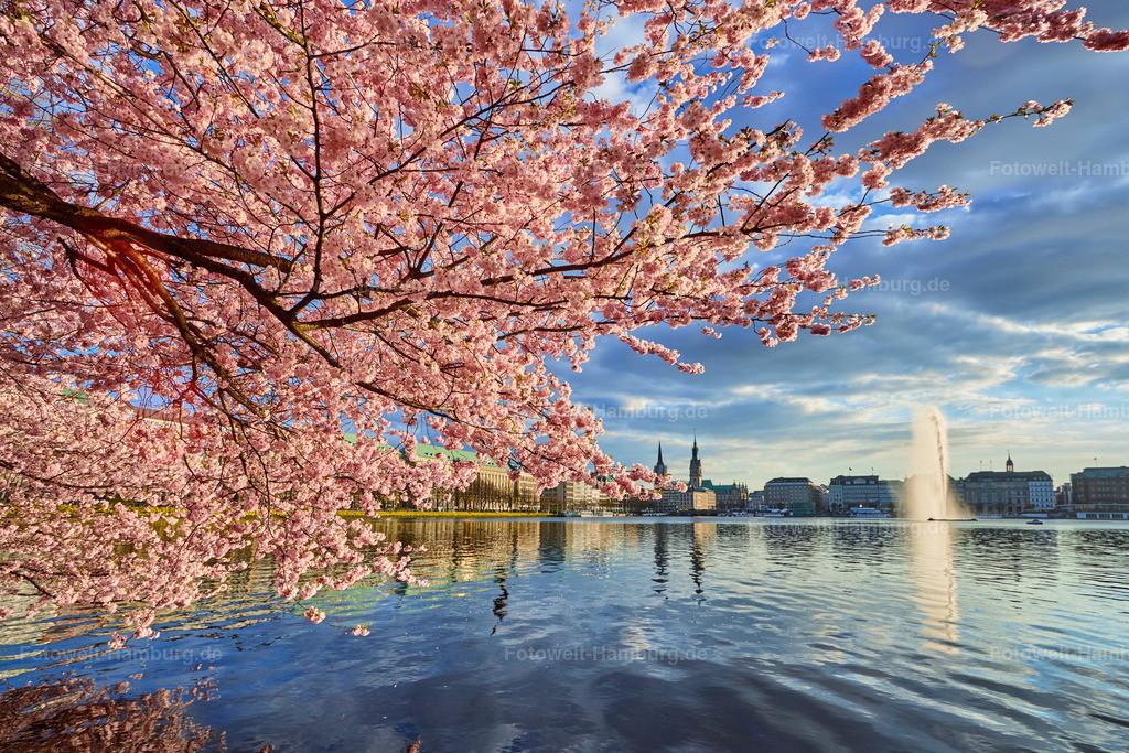 11896451 - Kirschblüten an der Alster